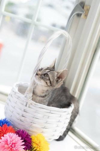 アトリエイエネコ Cat Photographer 28406237787_e0f0541cd7 1日1猫!高槻ねこのおうち 里親様募集中のりうちゃん♪ 1日1猫!  高槻ねこのおうち 里親様募集中 猫写真 猫 子猫 大阪 保護猫カフェ 保護猫 スマホ キジ猫 カメラ Kitten Cute cat