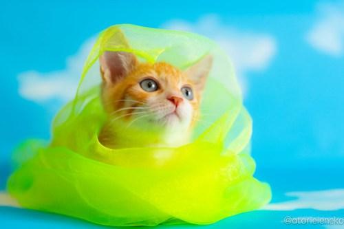 アトリエイエネコ Cat Photographer 41438676420_741f38738a 1日1猫!おおさかねこ俱楽部 里親様募集中のジローくん♪ 1日1猫!  里親様募集中 里親募集 猫写真 猫カフェ 猫 子猫 大阪 初心者 写真 保護猫カフェ 保護猫 ニャンとぴあ おおさかねこ倶楽部 Kitten Cute cat