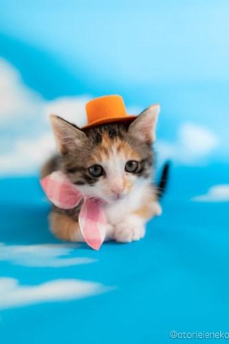 アトリエイエネコ Cat Photographer 41032641100_875754214e 1日1猫!おおさかねこ俱楽部 里親様募集中のウランちゃん♪ 1日1猫!  里親様募集中 猫写真 猫カフェ 猫 子猫 大阪 初心者 写真 保護猫カフェ 保護猫 三毛猫 ニャンとぴあ カメラ おおさかねこ倶楽部 Kitten Cute cat