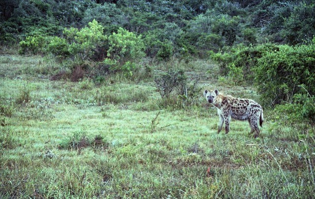Hyena Watching
