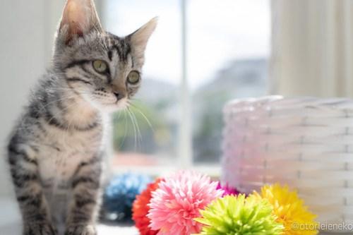 アトリエイエネコ Cat Photographer 42557231904_ccf6fd9b95 1日1猫!高槻ねこのおうち 里親様募集中のりうちゃん♪ 1日1猫!  高槻ねこのおうち 里親様募集中 猫写真 猫 子猫 大阪 保護猫カフェ 保護猫 スマホ キジ猫 カメラ Kitten Cute cat 1日1猫!おおさかねこ俱楽部 里親様募集中のナナコちゃん♪