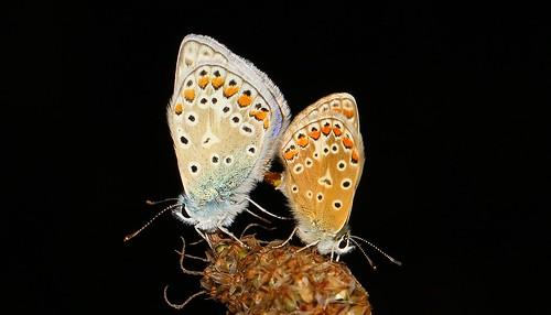 Common Blue Mating (Polyommatus icarus) 210718 (11)