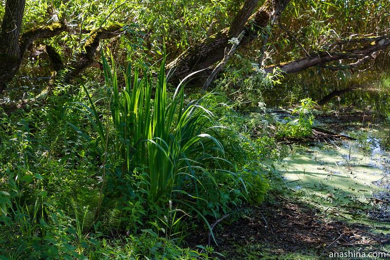 Прибрежная растительность, озеро Мстино