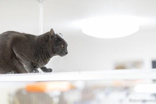 アトリエイエネコ Cat Photographer 42074898565_235681a0cd 1日1猫!保護猫カフェけやきさんに又又行って来た!(1/2) 1日1猫!  里親様募集中 猫写真 猫カフェ 猫 子猫 大阪 初心者 写真 保護猫カフェけやき 保護猫カフェ 保護猫 カメラ Kitten Cute cat