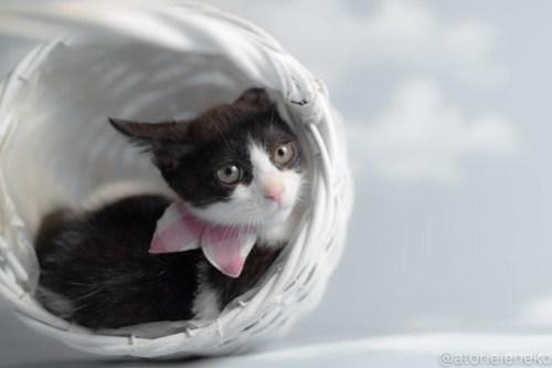 アトリエイエネコ Cat Photographer 43134379134_c9d052663c 1日1猫!おおさかねこ俱楽部 里活中のチルチルちゃんです♪ 1日1猫!  里親様募集中 猫写真 猫カフェ 猫 子猫 大阪 初心者 写真 保護猫カフェねこんチ 保護猫カフェ 保護猫 ハチワレ ニャンとぴあ カメラ おおさかねこ倶楽部 Kitten Cute cat