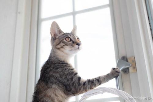 アトリエイエネコ Cat Photographer 42557252764_f06113aff4 1日1猫!高槻ねこのおうち 里親様募集中のりうちゃん♪ 1日1猫!  高槻ねこのおうち 里親様募集中 猫写真 猫 子猫 大阪 保護猫カフェ 保護猫 スマホ キジ猫 カメラ Kitten Cute cat