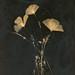 Poppy Lumens