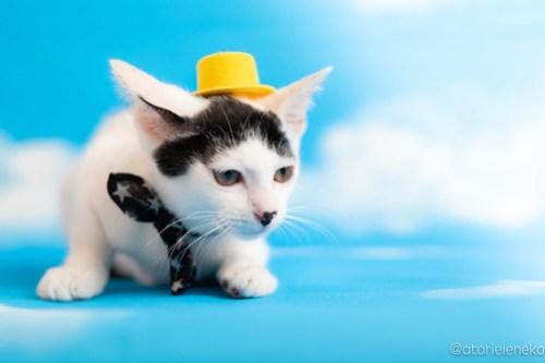 アトリエイエネコ Cat Photographer 42843589461_c0f65b0990 1日1猫!おおさかねこ俱楽部 里親様募集中のマッチくん♪ 1日1猫!  里親様募集中 猫写真 猫カフェ 猫 子猫 大阪 初心者 写真 保護猫カフェ 保護猫 ニャンとぴあ スマホ カメラ おおさかねこ倶楽部 Kitten Cute cat