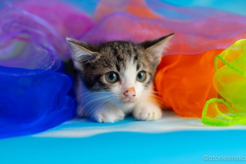 アトリエイエネコ Cat Photographer 29378161698_4d5451aedd 1日1猫!おおさかねこ俱楽部 里親様募集中のぺこちゃん♪ 1日1猫!  里親様募集中 猫写真 猫カフェ 猫 子猫 大阪 初心者 写真 保護猫カフェ 保護猫 ニャンとぴあ スマホ カメラ おおさかねこ倶楽部 Kitten Cute cat