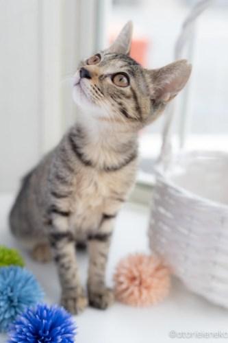 アトリエイエネコ Cat Photographer 29405808048_78874dca5b 1日1猫!高槻ねこのおうち 里親様募集中のりうちゃん♪ 1日1猫!  高槻ねこのおうち 里親様募集中 猫写真 猫 子猫 大阪 保護猫カフェ 保護猫 スマホ キジ猫 カメラ Kitten Cute cat
