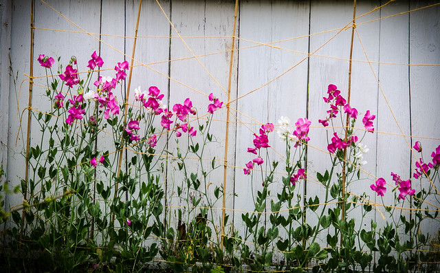 Yard Sweet Peas-001