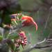 Hawaiian 'I'iwi bird  7DC_6646
