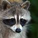 Raton laveur / Raccoon