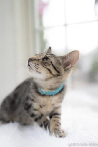 アトリエイエネコ Cat Photographer 43073351905_d239b383d4 1日1猫!高槻ねこのおうち 里活中のロクちゃん♪ 1日1猫!  高槻ねこのおうち 里親様募集中 猫写真 猫カフェ 猫 子猫 大阪 初心者 写真 保護猫カフェ 保護猫 スマホ キジ猫 キジ Kitten Cute cat