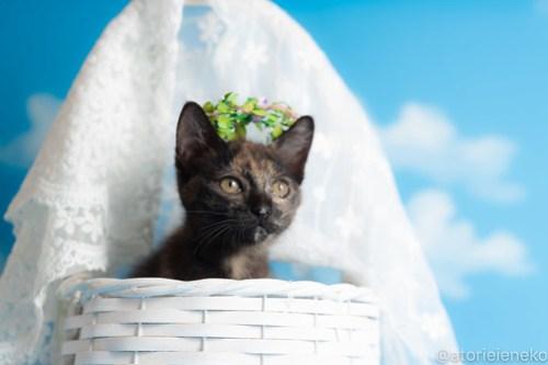 アトリエイエネコ Cat Photographer 43803603732_016f246468 1日1猫!おおさかねこ倶楽部 ミチルお嫁に行きます♪ 1日1猫!  里親様募集中 猫写真 猫カフェ 猫 子猫 大阪 写真 保護猫カフェ 保護猫 ニャンとぴあ スマホ サビ猫 カメラ おおさかねこ倶楽部 Kitten Cute cat