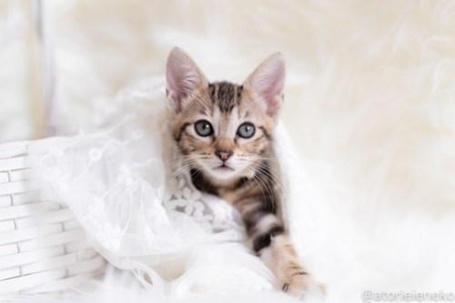 アトリエイエネコ Cat Photographer 30286106408_8e15c9b86b 1日1猫!しっぽ天使さん 里活中の黍「きび」♀生後2ヶ月 3/4♪ 1日1猫!  高槻ねこのおうち 高槻 里親様募集中 猫写真 猫カフェ 猫 子猫 大阪 初心者 写真 保護猫 スマホ キジ猫 しっぽ天使 Kitten Cute cat
