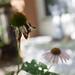 Echinacea in poor health