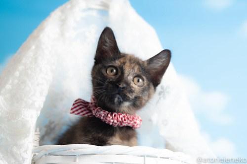 アトリエイエネコ Cat Photographer 43803613112_e569fd13c9 1日1猫!おおさかねこ俱楽部 里活中のミチルちゃんです♪ 1日1猫!  里親様募集中 猫写真 猫カフェ 猫 子猫 大阪 写真 保護猫カフェ 保護猫 ニャンとぴあ サビ猫 カメラ おおさかねこ倶楽部 Kitten Cute cat