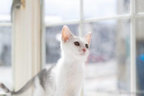 アトリエイエネコ Cat Photographer 42557242464_fa54e37106 1日1猫!高槻ねこのおうち 里親様募集中のジェリーちゃん♪ 1日1猫!  高槻ねこのおうち 里親様募集中 猫写真 猫カフェ 猫 子猫 大阪 初心者 写真 保護猫カフェ 保護猫 スマホ カメラ Kitten Cute cat