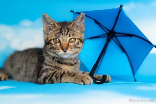 アトリエイエネコ Cat Photographer 42344334015_ca11b94d1c 1日1猫!おおさかねこ俱楽部 里親様募集中のあややちゃん♪ 1日1猫!  里親様募集中 猫写真 猫カフェ 猫 子猫 初心者 写真 保護猫カフェ 保護猫 ニャンとぴあ スマホ キジ猫 カメラ おおさかねこ倶楽部 Kitten Cute cat