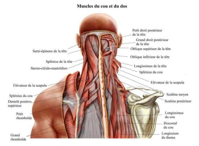 élasticité-tissulaire-coup