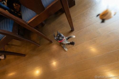 アトリエイエネコ Cat Photographer 28534193997_c89737c168 1日1猫!CaraCatCafe天使に会いに行って来ました♪ 1日1猫!  里親様募集中 猫 子猫 大阪 初心者 写真 保護猫カフェ 保護猫 スマホ カメラ Kitten Cute cat caracatcafe
