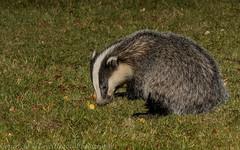 Badger (J) (Meles meles) -'Z' for zoom
