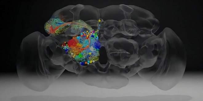 imagé-cerveau-mouche-synapses