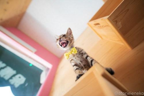 アトリエイエネコ Cat Photographer 43134363524_b5e321589c 1日1猫!おおさかねこ俱楽部 里活中のさだおくんです♪ 1日1猫!  里親様募集中 猫写真 猫カフェ 猫 子猫 大阪 初心者 写真 保護猫カフェ 保護猫 ニャンとぴあ スマホ キジ猫 カメラ おおさかねこ倶楽部 Kitten Cute cat