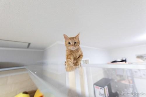 アトリエイエネコ Cat Photographer 29107754068_ea528a5bb1 1日1猫!保護猫カフェけやきさんに又又行って来た!(1/2) 1日1猫!  里親様募集中 猫写真 猫カフェ 猫 子猫 大阪 初心者 写真 保護猫カフェけやき 保護猫カフェ 保護猫 カメラ Kitten Cute cat