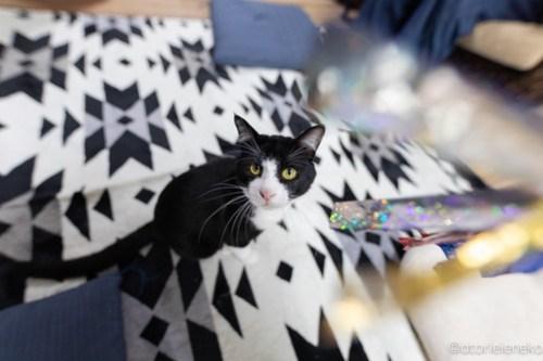 アトリエイエネコ Cat Photographer 28107853127_5aaa838392 1日1猫!保護猫カフェけやきさんに又又行って来た!(2/2) 1日1猫!  里親様募集中 猫写真 猫カフェ 猫 子猫 大阪 初心者 写真 保護猫カフェけやき 保護猫カフェ 保護猫 スマホ カメラ Kitten Cute cat