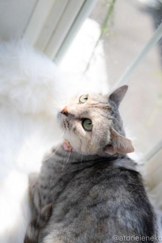 アトリエイエネコ Cat Photographer 43978924091_9a461d0f5f 1日1猫!高槻ねこのおうち 里活中のみかんちゃん♪ 1日1猫!  高槻ねこのおうち 里親様募集中 猫写真 猫カフェ 猫 子猫 大阪 初心者 写真 保護猫カフェ 保護猫 ニャンとぴあ スマホ キジ猫 Kitten Cute cat