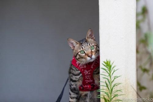 アトリエイエネコ Cat Photographer 30125485318_e91faf70b0 1日1猫! 8/12しっぽ天使&高槻ねこのおうち(第三回 猫・雑貨店&里親探し) 1日1猫!  高槻ねこのおうち 里親様募集中 譲渡会 猫写真 猫カフェ 猫 子猫 大阪 写真 保護猫 しっぽ天使 Kitten Cute cat 24節記