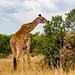 Kenya Africa. Lake Naivasha (Giraffe)