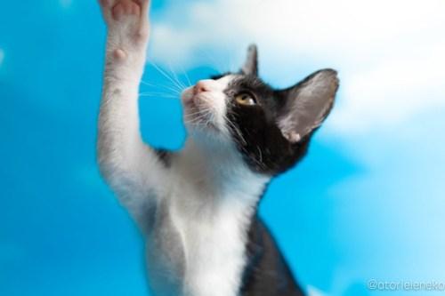 アトリエイエネコ Cat Photographer 30554550988_0e8e55bb70 1日1猫!なら地域ねこの会さんの猫撮影会♪ 1日1猫!  猫写真 猫カフェ 猫 子猫 奈良 大阪 初心者 写真 保護猫カフェ 保護猫 ハチワレ ニャンとぴあ スマホ キジ猫 カメラ なら地域ねこの会 Kitten Cute cat