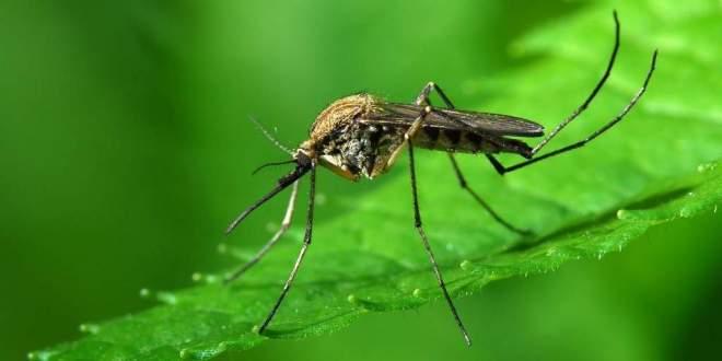 concevoir-un-répulsif-naturel-contre-moustique-maladie