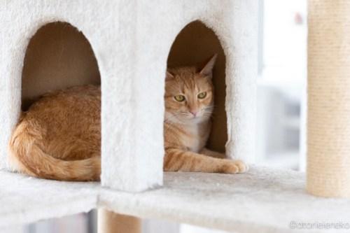 アトリエイエネコ Cat Photographer 29918670327_1199a8e68f 1日1猫!保護猫カフェねこんチさん[2018秋]♪ 1/2 1日1猫!  黒猫 里親様募集中 猫写真 猫カフェ 猫 子猫 大阪 初心者 写真 保護猫カフェねこんチ 保護猫カフェ 保護猫 キジ猫 カメラ Kitten Cute cat