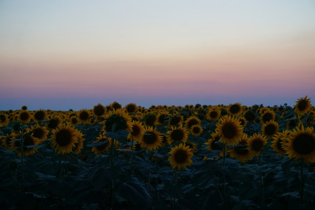 Sunflower field at dusk, Satu-Mare county
