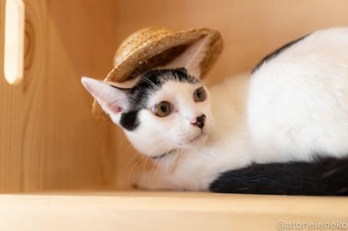 アトリエイエネコ Cat Photographer 42448241230_4d91c487f3 1日1猫!おおさかねこ俱楽部 里活中のマッチくんです♪ 未分類  里親様募集中 猫写真 猫カフェ 猫 子猫 大阪 初心者 写真 保護猫カフェ 保護猫 ニャンとぴあ スマホ カメラ おおさかねこ倶楽部 Kitten Cute cat
