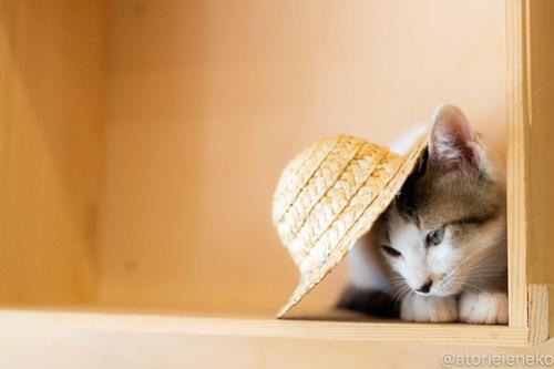 アトリエイエネコ Cat Photographer 30389104118_81d82aeec4 1日1猫!おおさかねこ俱楽部 里活中のセレナちゃんです♪ 1日1猫!  里親様募集中 猫写真 猫カフェ 猫 子猫 大阪 初心者 写真 保護猫カフェ 保護猫 ニャンとぴあ スマホ カメラ おおさかねこ倶楽部 Kitten Cute cat