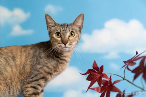 アトリエイエネコ Cat Photographer 42761030560_90b0f8341a 1日1猫!「かりぐらしの猫たち」さんのシェルターへ行って来た♪(2/2) 1日1猫!  里親様募集中 猫写真 猫 子猫 大阪 吹田 初心者 写真 保護猫 かりぐらしの猫たち Kitten Cute cat