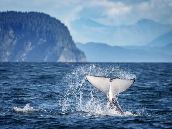 Orca Fluke Slap