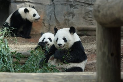 Lun Lun with cubs 2018-01-26