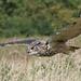 DSP03316 - Eagle Owl  (Bubo bubo)