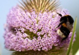 Bee on flowering teasle
