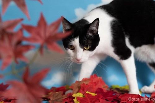 アトリエイエネコ Cat Photographer 42760882170_6b79ae4b57 1日1猫!「かりぐらしの猫たち」さんのシェルターへ行って来た♪(1/2) 1日1猫!  里親様募集中 猫写真 猫 子猫 大阪 吹田 初心者 写真 保護猫 ニャンとぴあ スマホ カメラ かりぐらしの猫たち Kitten Cute cat