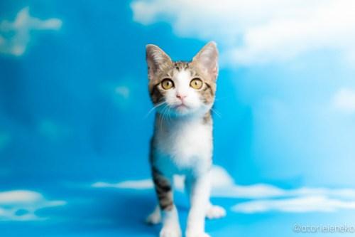 アトリエイエネコ Cat Photographer 43514463985_4441790e2a 1日1猫!なら地域ねこの会さんの猫撮影会♪ 1日1猫!  猫写真 猫カフェ 猫 子猫 奈良 大阪 初心者 写真 保護猫カフェ 保護猫 ハチワレ ニャンとぴあ スマホ キジ猫 カメラ なら地域ねこの会 Kitten Cute cat
