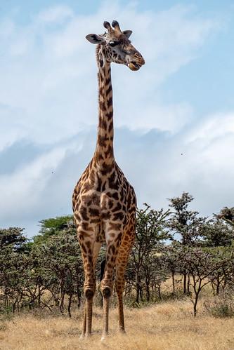 A giraffe awfully close up
