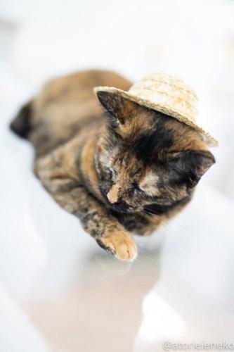 アトリエイエネコ Cat Photographer 30253643108_9f39e701eb 1日1猫!保護猫カフェねこんチ 2018夏 1/2♪ 1日1猫!  里親様募集中 猫写真 猫カフェ 猫 泉大津 子猫 大阪 初心者 写真 保護猫カフェねこんチ 保護猫カフェ 保護猫 カメラ Kitten Cute cat