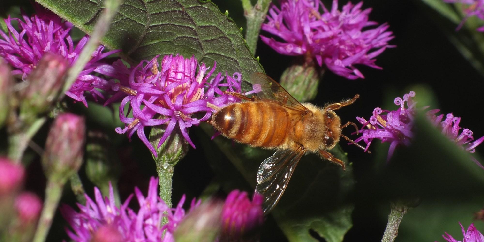 Cute Honey Bee In Flight SOOC DSCF9009
